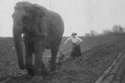 Elephants as farm workers in the First World War